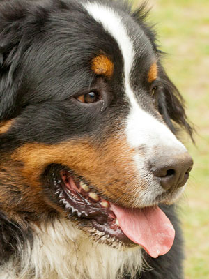 2nd Most Expensive Breed: Bernese Mountain Dog