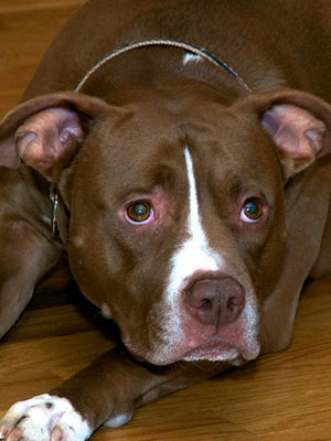 6th Most Expensive Breed: American Pit Bull Terrier