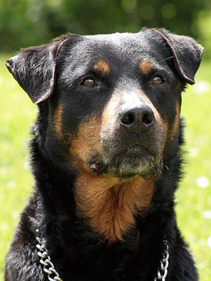 3rd Most Expensive Breed: Rottweiler