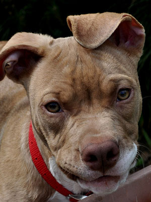 5th Most Expensive Breed: American Staffordshire Terrier