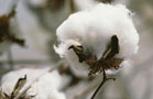 Cotton Gives Up Gains; Cocoa Wobbles