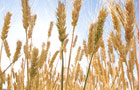 Wheat, Rice Prices Rise as Countries Stock Up
