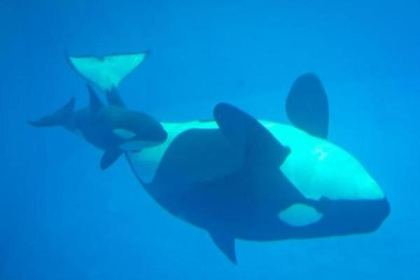 The Last Baby Killer Whale to be Born at SeaWorld has Died