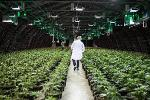What to Watch for When Canopy Growth Reports According to Jim Cramer