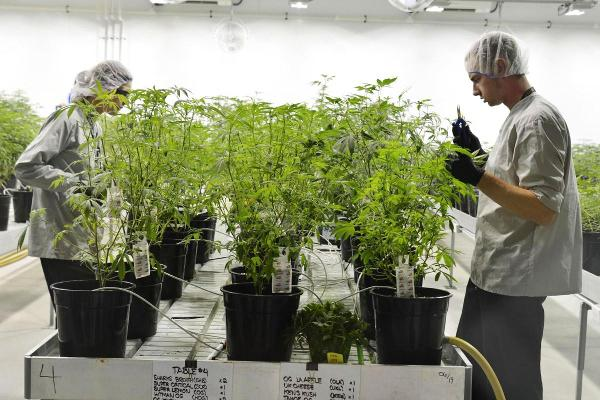 Tilray Up 9.3%; Tera Tech Off 4.9%: Cannabis Stocks Gain Ahead of Canopy Report