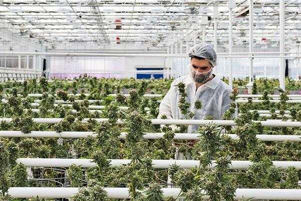 Cannabis Corner: Canopy Growth Miss Weighs on Pot Sector