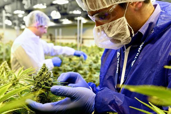 Ladenburg Analysts Spark Coverage of Cannabis Stocks Canopy, Aurora and Tilray