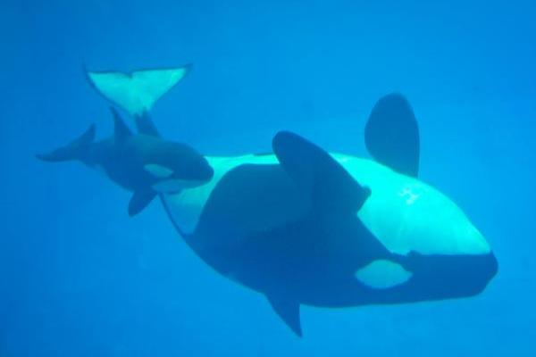 SeaWorld Loses Another Orca, 3-Month Old Kyara Dies