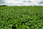 Soybeans Are Set for Their Seasonal Sprout
