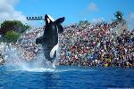 SeaWorld Debuts New Killer Whale Show in San Diego