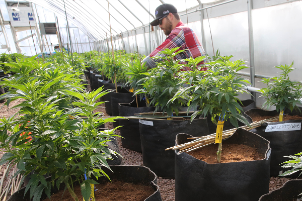 Cannabis Firm Terra Tech Is Focusing on Organic Growth