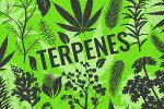 Terpenes: Effects, Examples and Products