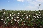 Monsanto (MON) Stock Up, Pulls GM Cotton Seed Application in India