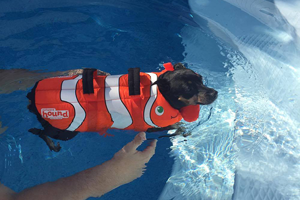Foxy modeling her Chewy life vest as she wades through the pool.