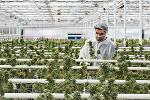Aleafia's Toronto Shares Rise; Firm Cleared to Export Cannabis Internationally
