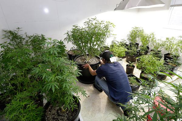 Legalization of pot essay