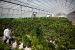 Canadian Marijuana Stocks Poised to Ramp Up